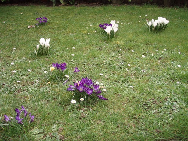 Les fleurs du printemps 2013 Crocus10