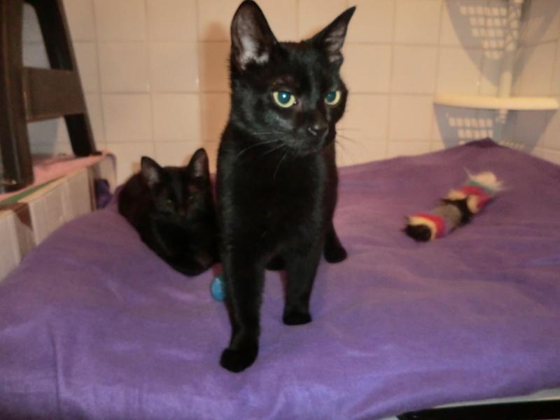 Khéops et Khephren 2 grands chatons noirs7 mois Cimg1010