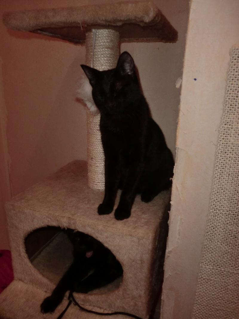 Khéops et Khephren 2 grands chatons noirs7 mois Cimg1015