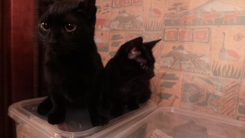 Khéops et Khephren 2 grands chatons noirs7 mois Jumeau10