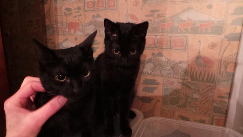 Khéops et Khephren 2 grands chatons noirs7 mois Jumeau11