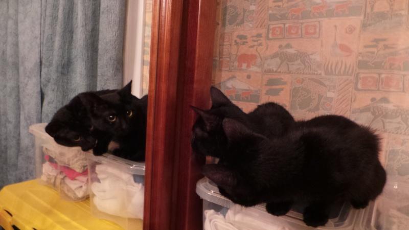 Khéops et Khephren 2 grands chatons noirs7 mois Jumeau12