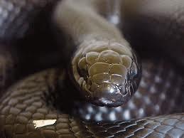 Afrique du Sud - Crânes de serpent contre médicaments Black_10
