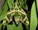 Daphnis nerii (Linné, 1758) Daphni11