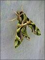 Daphnis nerii (Linné, 1758) Daphni14