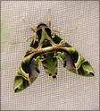 Daphnis nerii (Linné, 1758) Daphni15