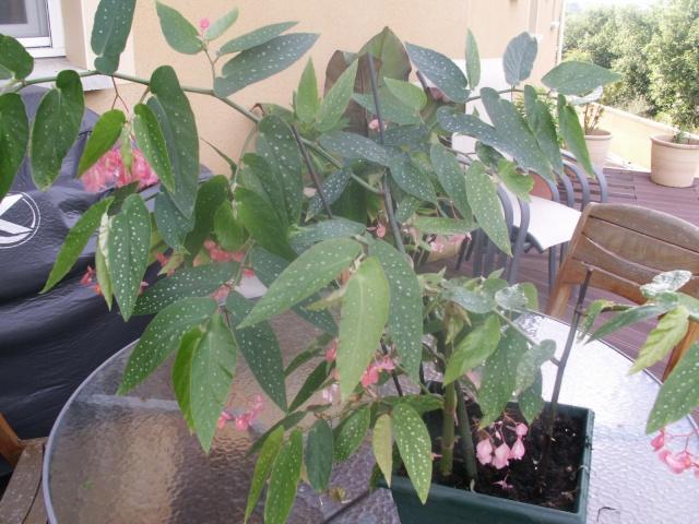 Begonia maculata Pict0615