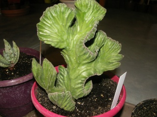 Stapelia leendertziae cristata Pict0622