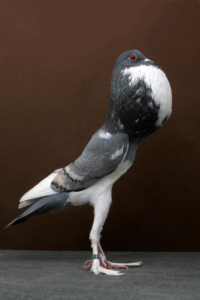 Perruches, différentes variétés  Pigeon11