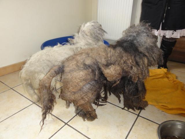 dept 48:URGENCE pour ces 2 petits chiens  trouvés congelés le 24 février ,un bichon et un caniche ...photos... Bichon22