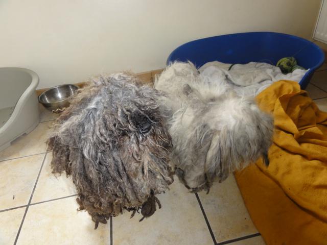 dept 48:URGENCE pour ces 2 petits chiens  trouvés congelés le 24 février ,un bichon et un caniche ...photos... Bichon24