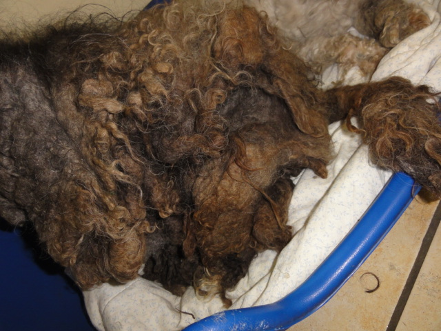 dept 48:URGENCE pour ces 2 petits chiens  trouvés congelés le 24 février ,un bichon et un caniche ...photos... Bichon28