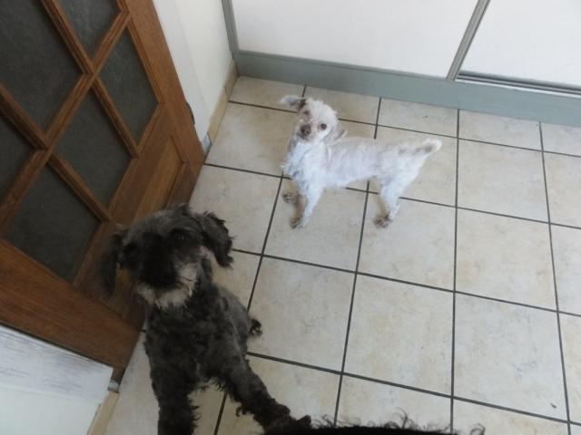 dept 48:URGENCE pour ces 2 petits chiens  trouvés congelés le 24 février ,un bichon et un caniche ...photos... Petits16