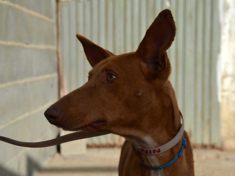 Alacant podenco à l'adoption refuge de Scooby Scooby France Adopté Alacan11