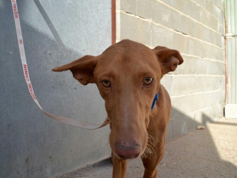 Alacant podenco à l'adoption refuge de Scooby Scooby France Adopté Alacan12