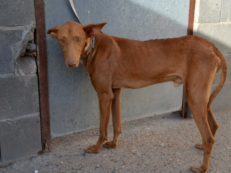 Alacant podenco à l'adoption refuge de Scooby Scooby France Adopté Alacan13
