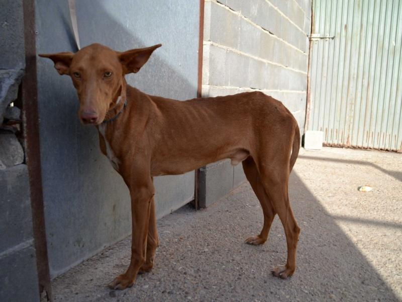 Alacant podenco à l'adoption refuge de Scooby Scooby France Adopté Alacan14