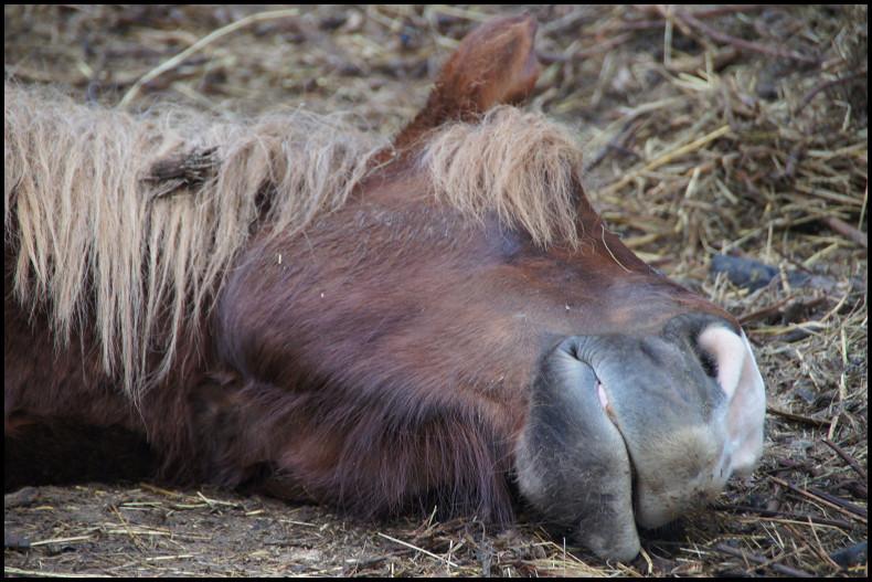 Thème de Mai 2013 : Le Cheval en pleine sieste!! Dsc04723