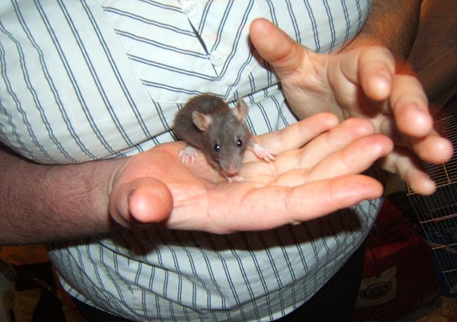 Toute une famille de rats ! Bebe610