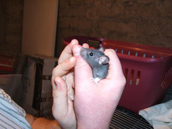 Toute une famille de rats ! Bebe810