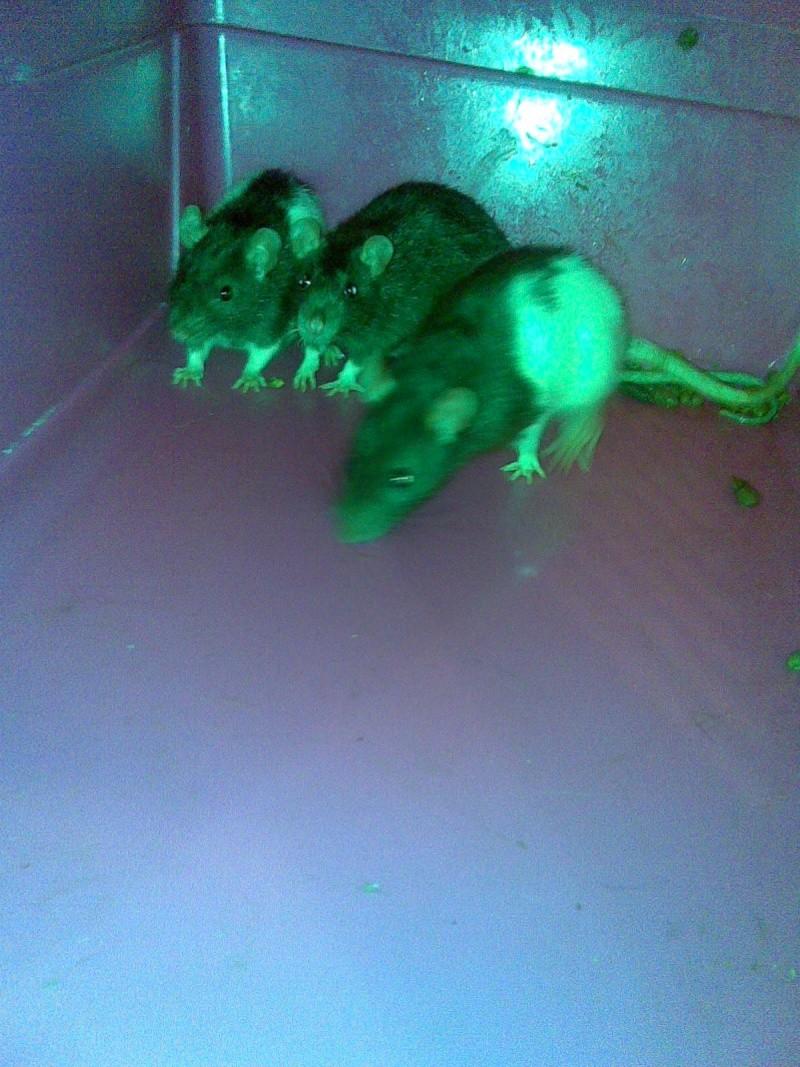 Toute une famille de rats ! Photo_43
