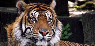 Le tigre du Bengale Tigre10