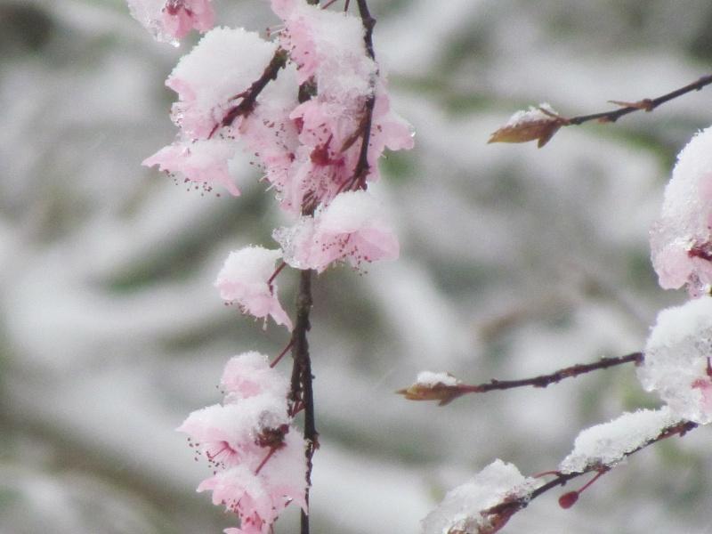 Dans l'attente du printemps ... Les bourgeons - Page 3 3412