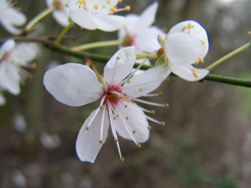 Dans l'attente du printemps ... Les bourgeons - Page 3 7111