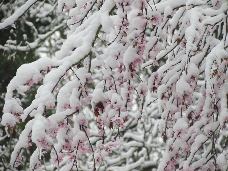 Dans l'attente du printemps ... Les bourgeons - Page 3 Cd_17210