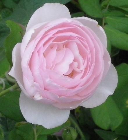 Rosa 'Héritage' !!! - Page 3 02092038