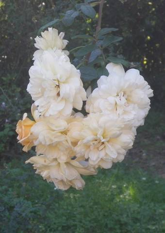 Rosa 'Buff Beauty' !!! - Page 4 02102021
