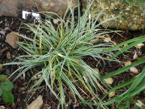 Carex morrowii 'Ice Dance' !!! Copie_10