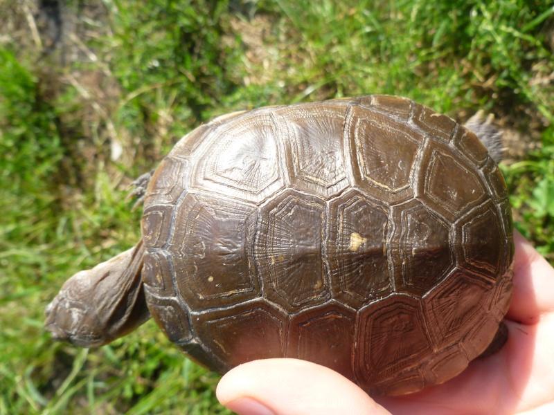 tortue trouvée dans le jardin !!! P1050110