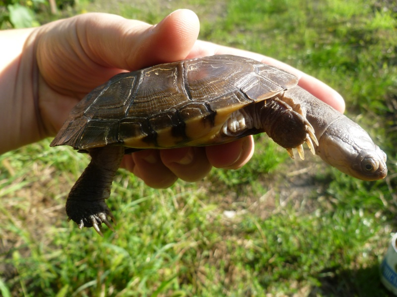 tortue trouvée dans le jardin !!! P1050111