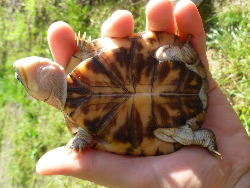 tortue trouvée dans le jardin !!! P1050112