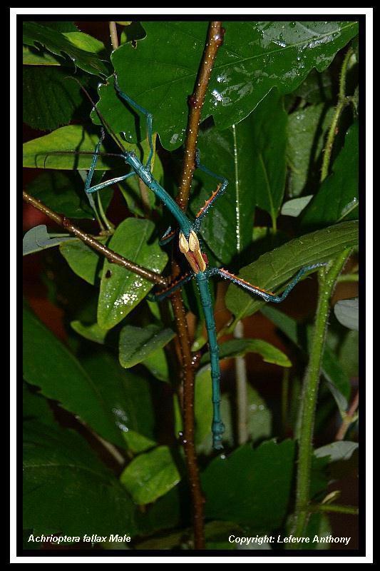 Achrioptera fallax (PSG 327) - Page 3 Achrio10
