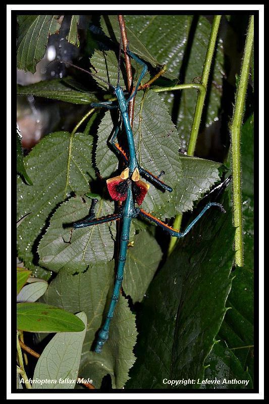 Achrioptera fallax (PSG 327) - Page 3 Achrio11