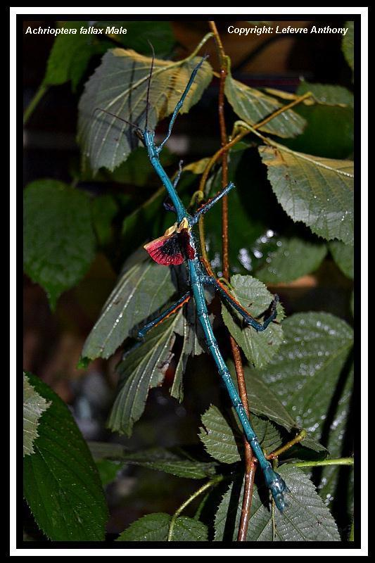 Achrioptera fallax (PSG 327) - Page 3 Achrio12