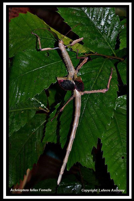 Achrioptera fallax (PSG 327) - Page 3 Achrio14