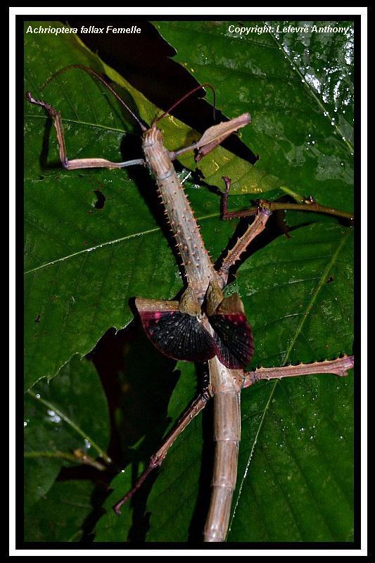 Achrioptera fallax (PSG 327) - Page 3 Achrio15