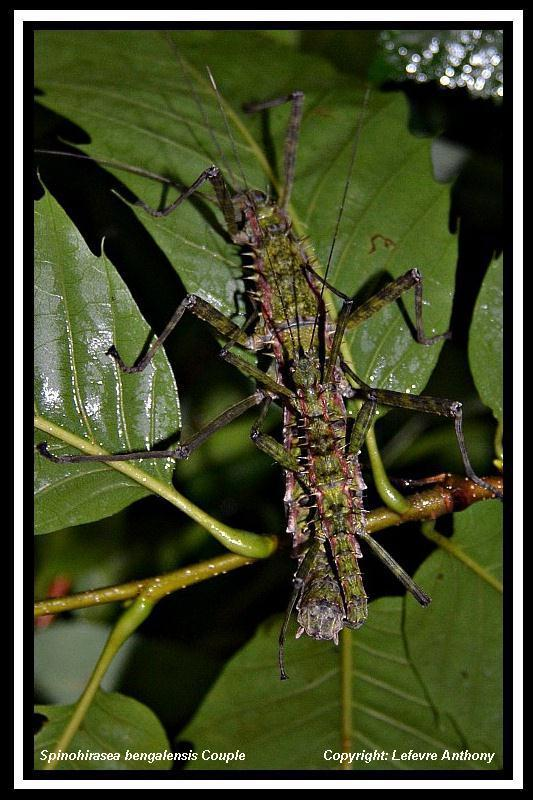 Spinohirasea bengalensis  (psg 272) Spinoh10