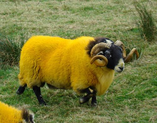 ECOSSE - Petit guide fait maison - Page 2 Mouton10