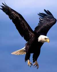 Zoom sur les espèces en danger d'extinction Faucon10