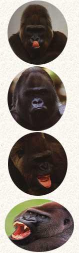 Le Gorille Gori_l10