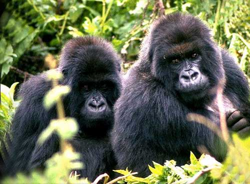 Le Gorille Gori_m10
