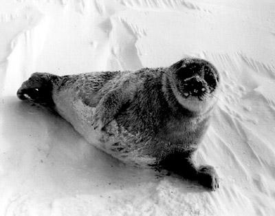 Une double menace pèse sur le phoque annelé Polar_10
