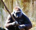 Le Gorille Gorill11