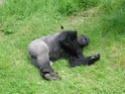 Le Gorille Gorill12