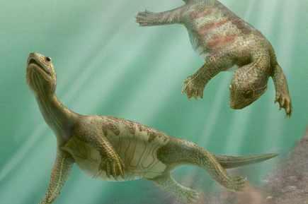 Une tortue sans carapace découverte en Chine Tortue10