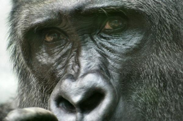 Le Gorille Yeux_g10